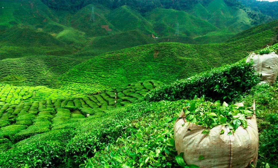 بازار چای شمال