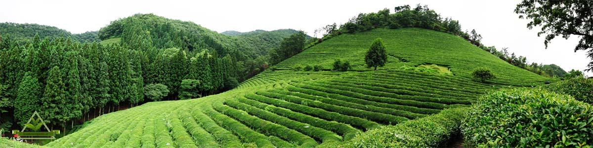 صادرات چای ایرانی