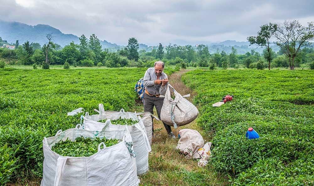 خرید چای گیلان جزیی