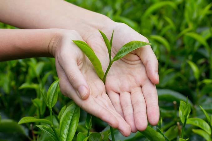 خرید مستقیم چای سبز لاهیجان