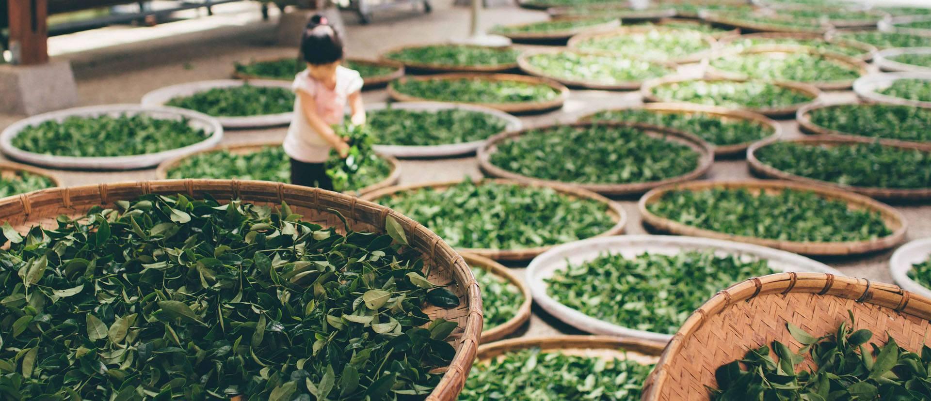 تولید چای سبز ایرانی