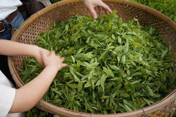 تولید چای دستی لاهیجان