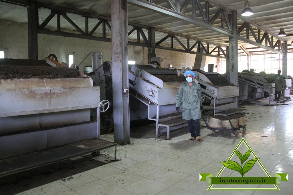 تولید انواع چای شمال