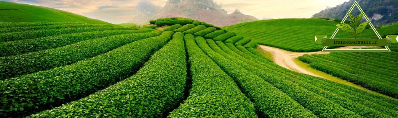 چای باروتی قیمت عمده