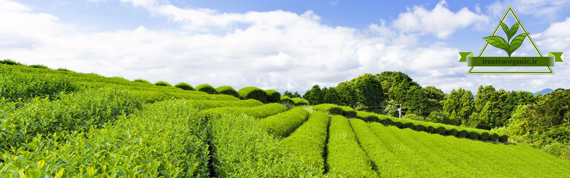 صنعت چای شمال