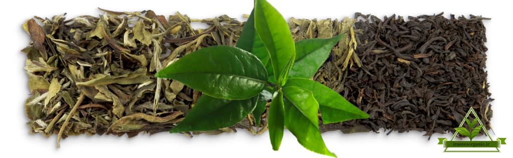 فروش ویژه چای شمال در بازار