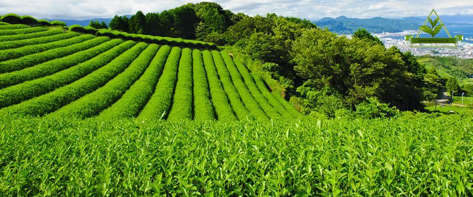 قیمت خرید چای گیلان
