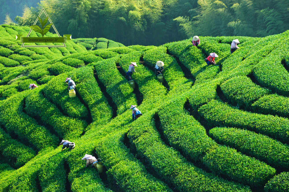 خرید اینترنتی چای تضمینی