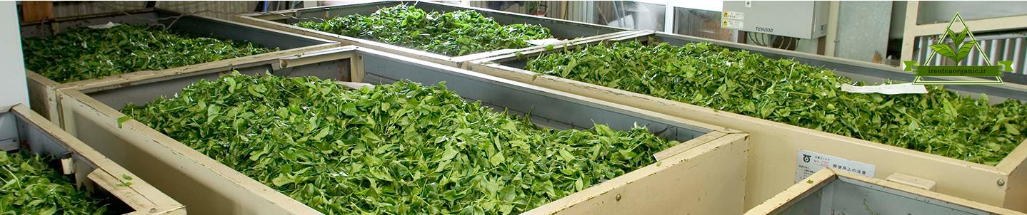 فروش چای سبز گیلان عمده