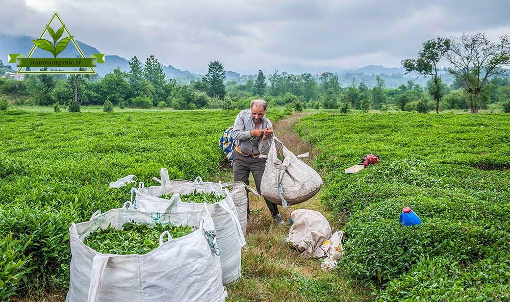 خرید چای گیلان بهاره