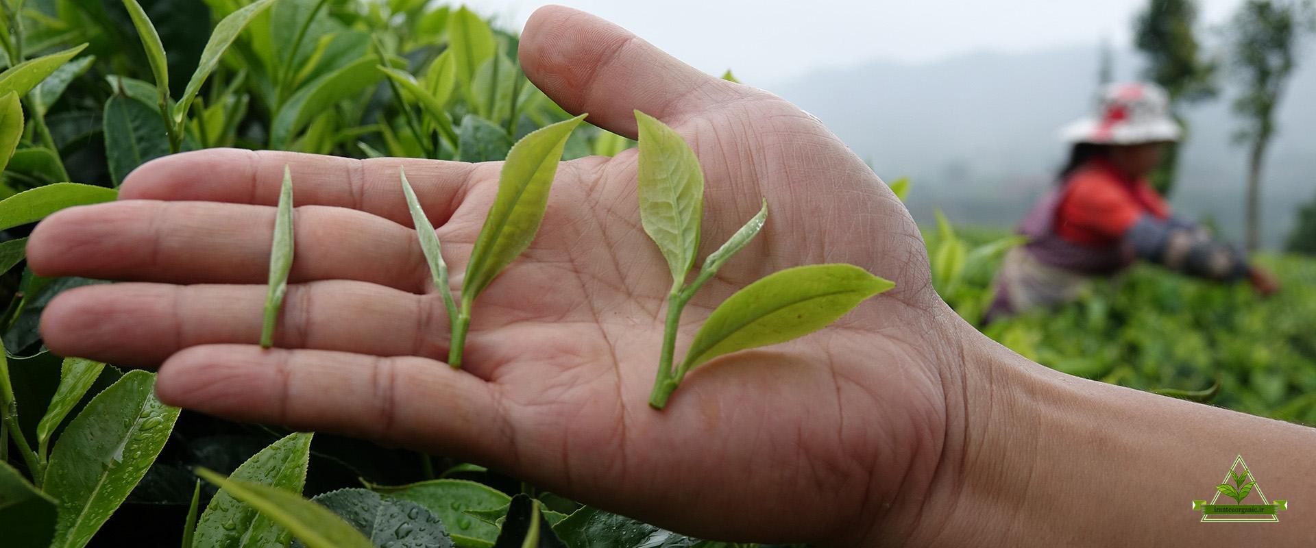 قیمت چای سرگل بهاره