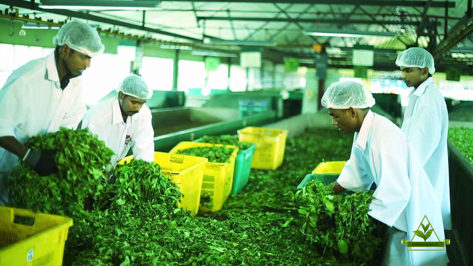 فروش چای بهاره رفاه لاهیجان