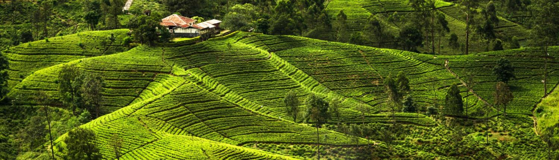 خرید چای سبز باروتی