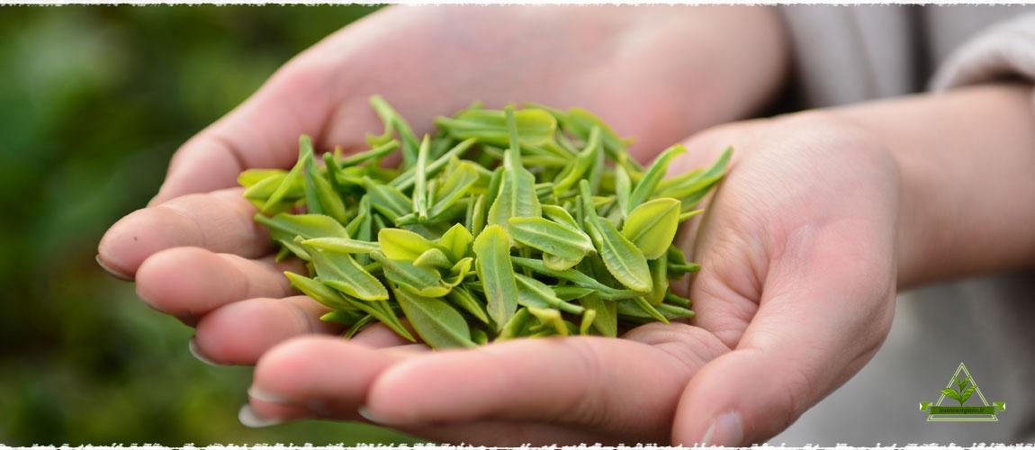 فروش ویژه چای ممتاز شمال