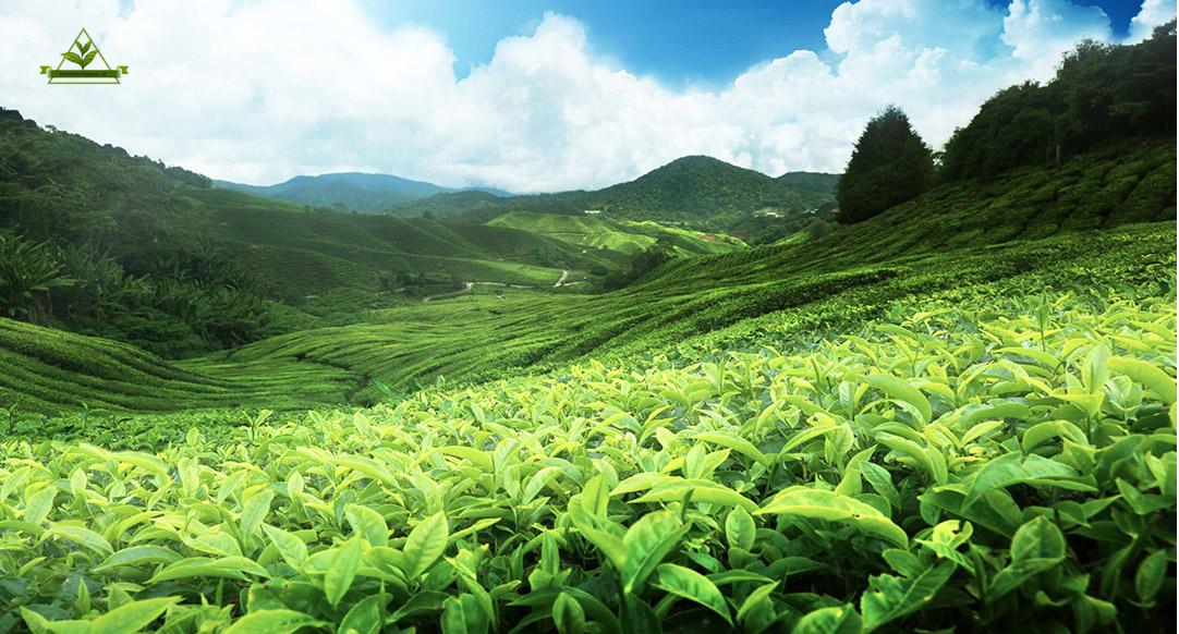 فروش چای لاهیجان