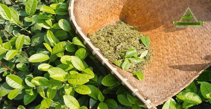 خرید بهترین چای سبز