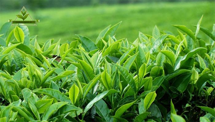 صادرات چای گیلان